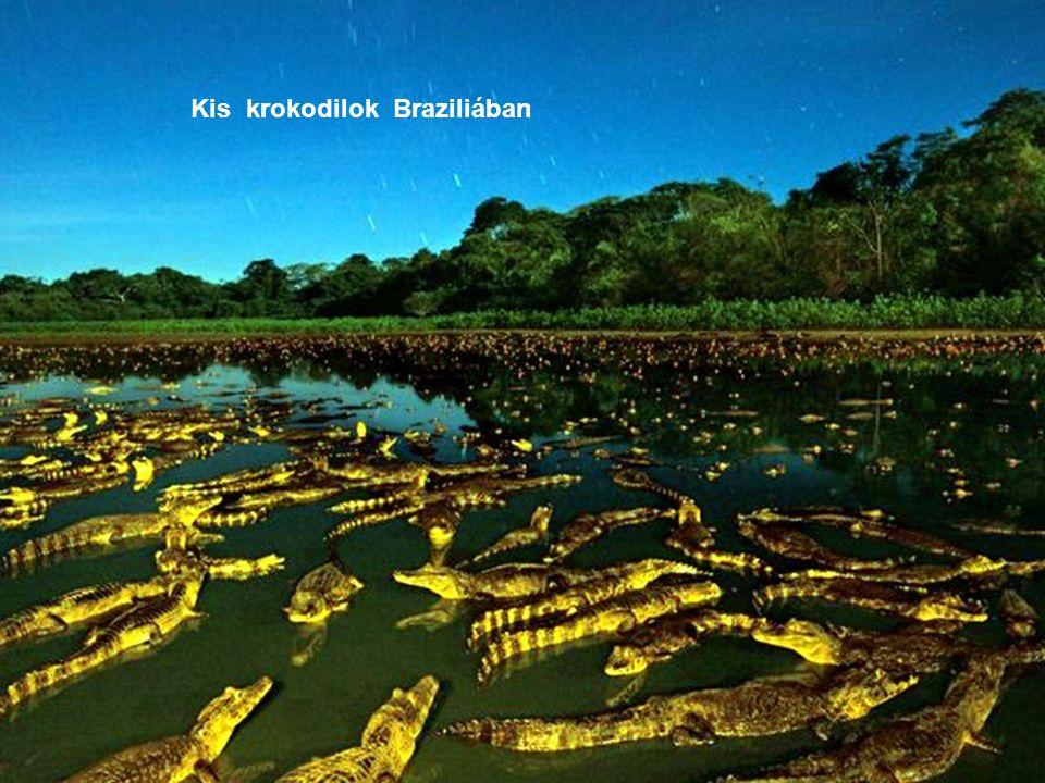 Kis krokodilok Braziliában