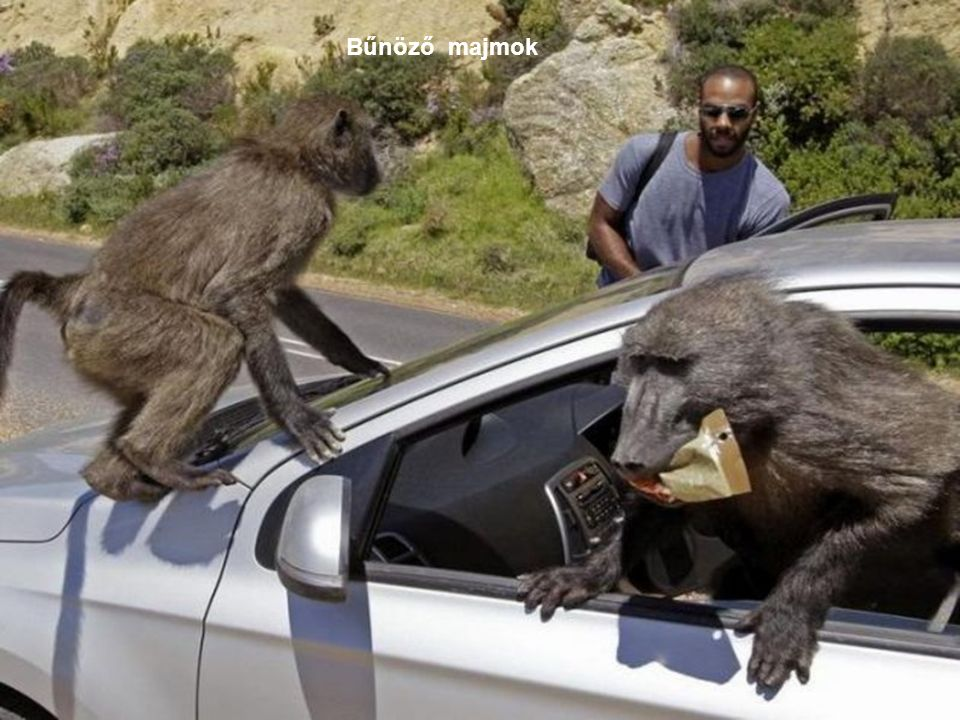 Bűnöző majmok