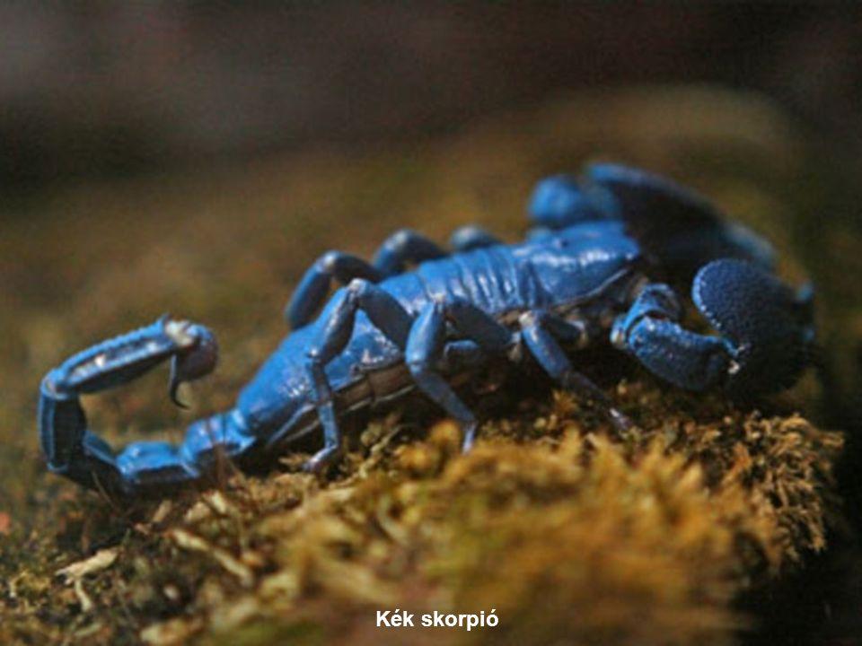 Kék skorpió