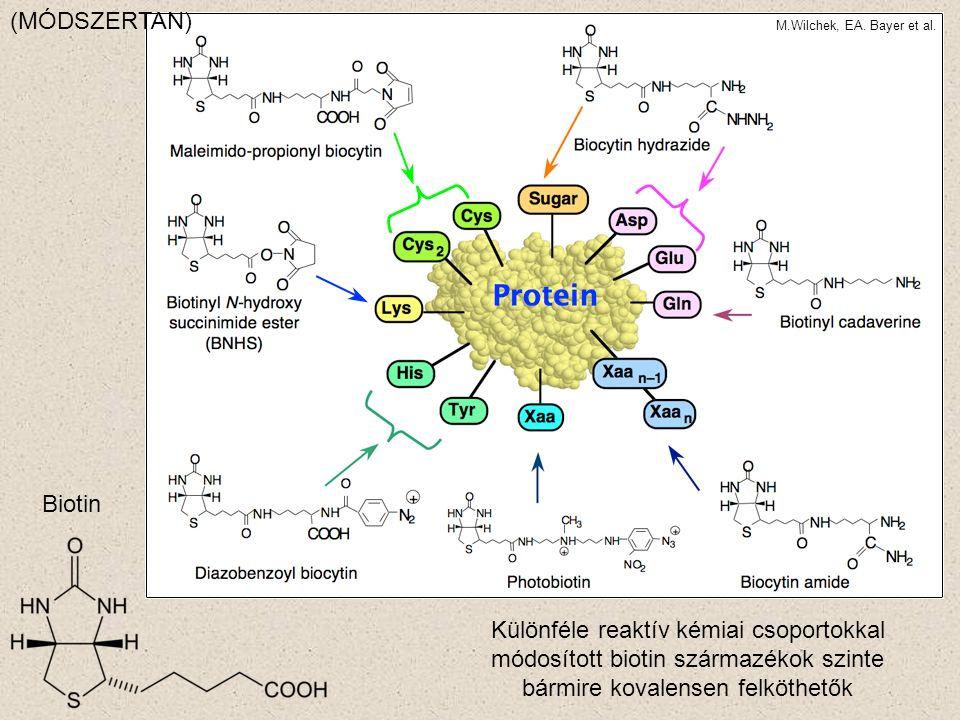 (MÓDSZERTAN) M.Wilchek, EA. Bayer et al. http://www.weizmann.ac.il/Biological_Chemistry/scientist/Bayer/avidin_biotin.