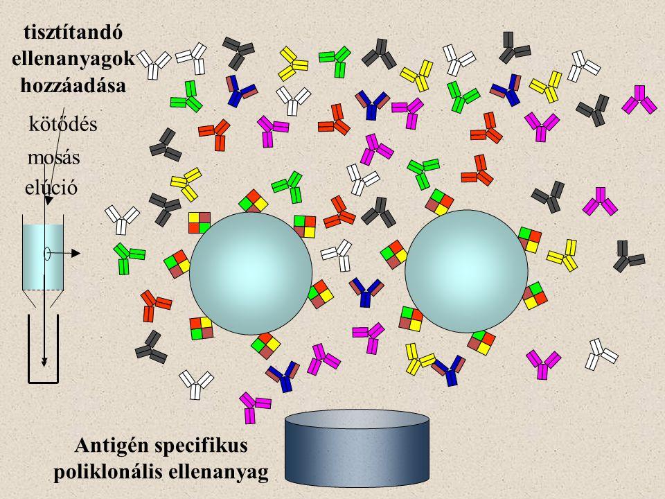 tisztítandó ellenanyagok hozzáadása poliklonális ellenanyag