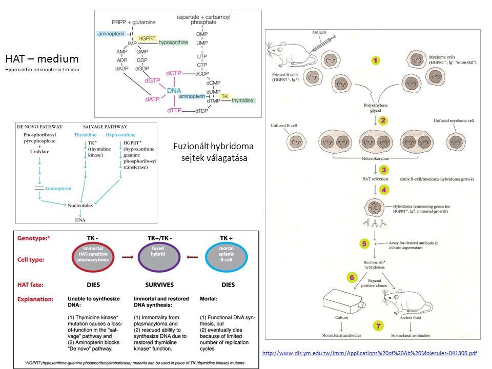 HAT – medium Fuzionált hybridoma sejtek válagatása