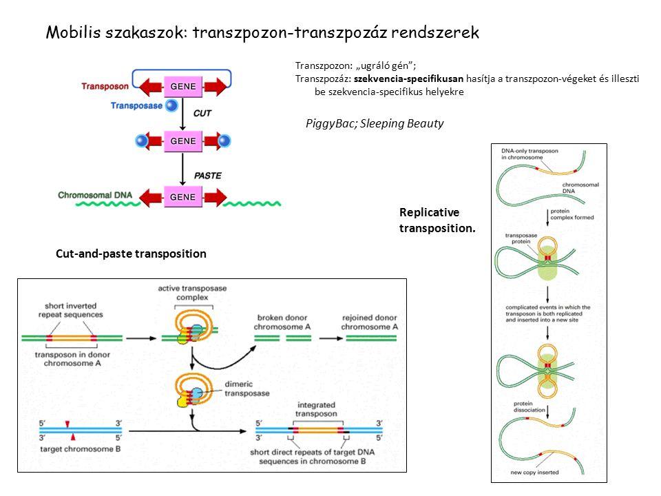 Mobilis szakaszok: transzpozon-transzpozáz rendszerek
