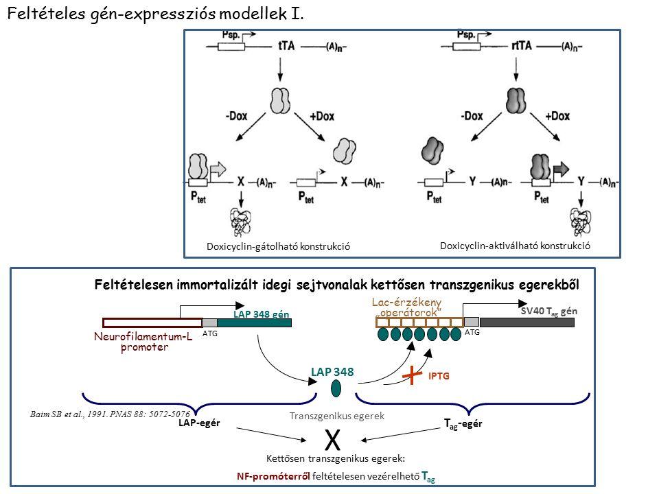 X Feltételes gén-expressziós modellek I.
