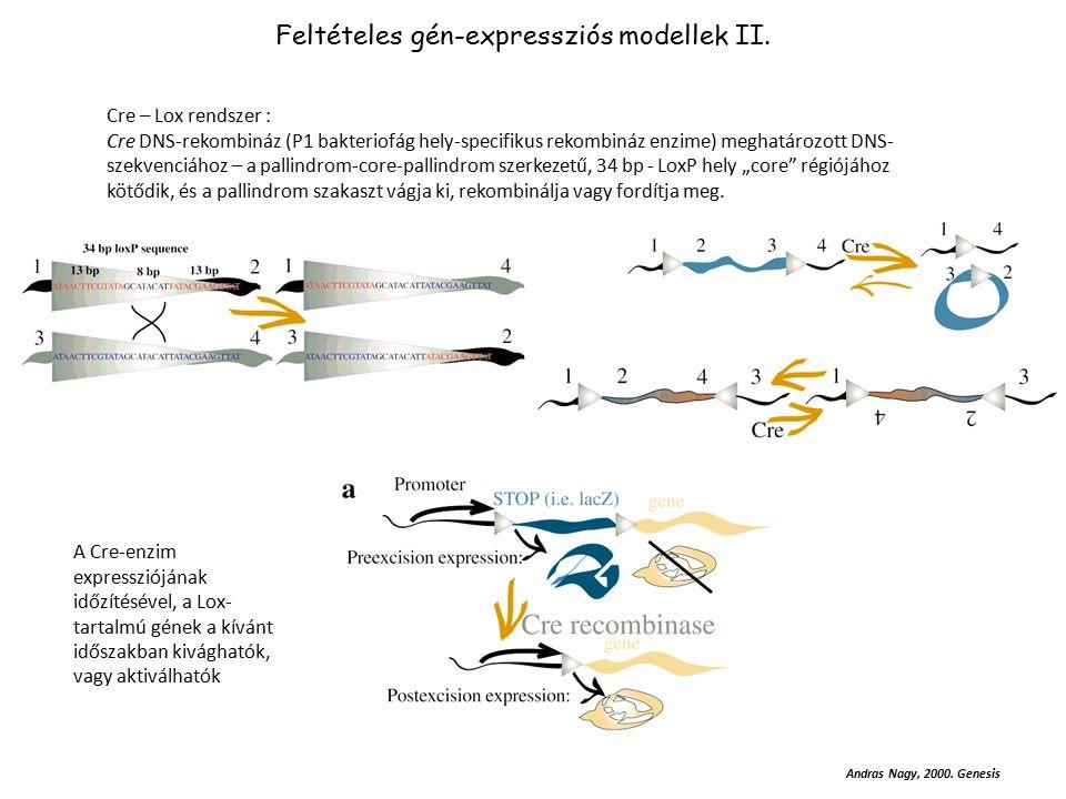 Feltételes gén-expressziós modellek II.
