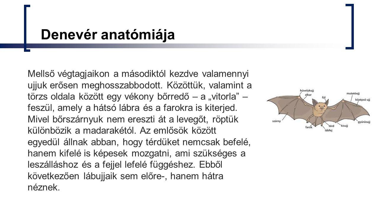 Denevér anatómiája