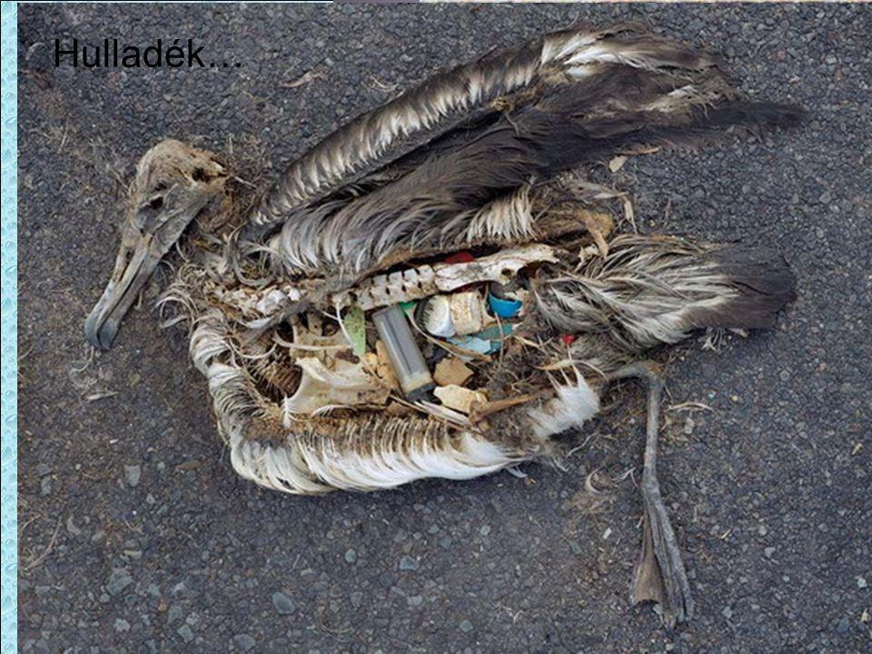 Hulladék… Laysan-albatrosz Falánk a lelkem és nem válogatós!