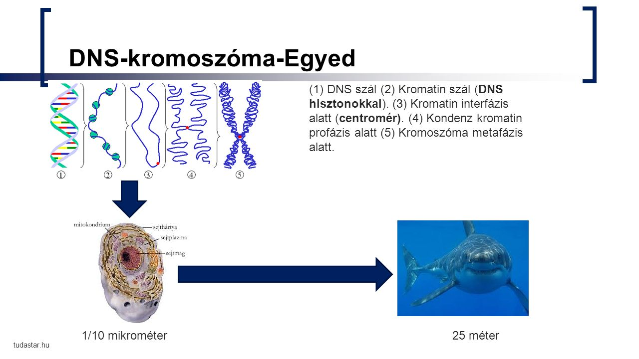 DNS-kromoszóma-Egyed