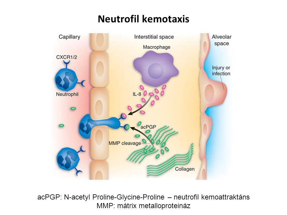 Neutrofil kemotaxis