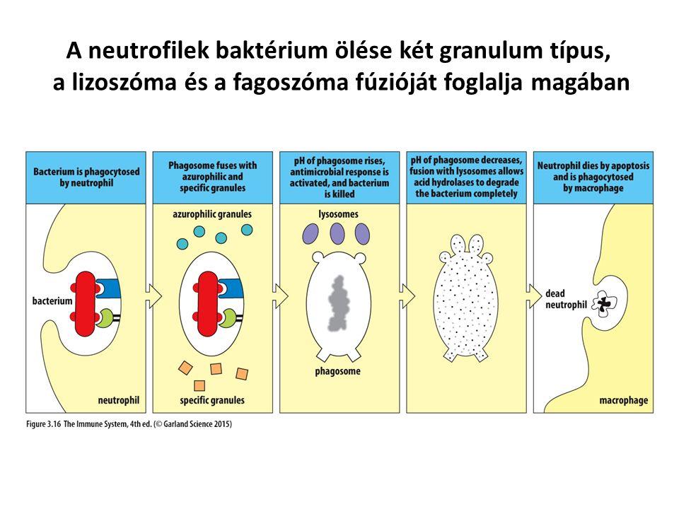 A neutrofilek baktérium ölése két granulum típus,