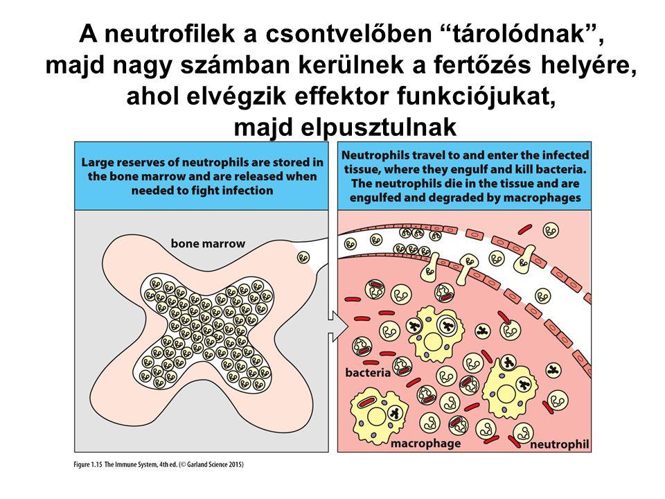 A neutrofilek a csontvelőben tárolódnak ,