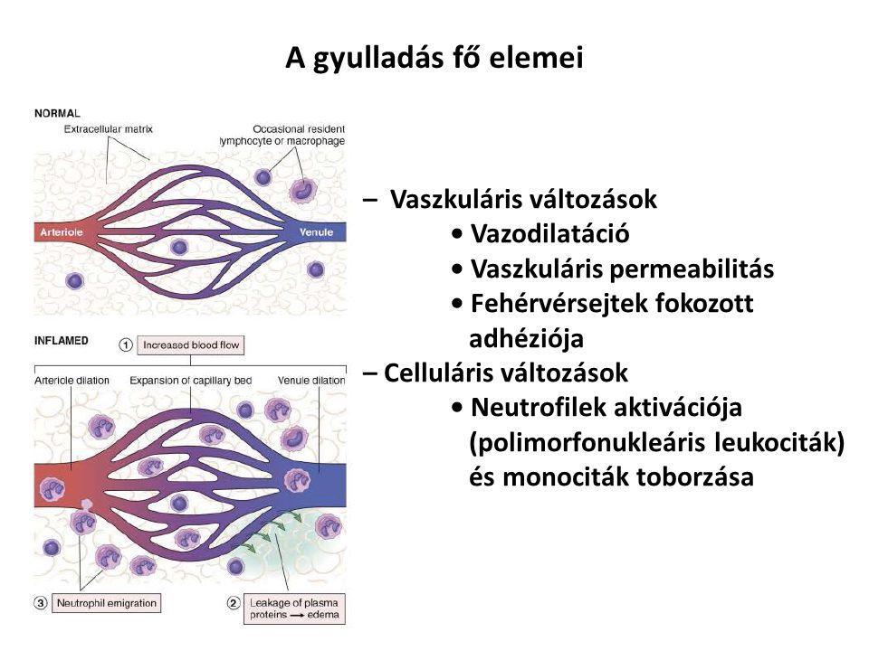 A gyulladás fő elemei – Vaszkuláris változások • Vazodilatáció