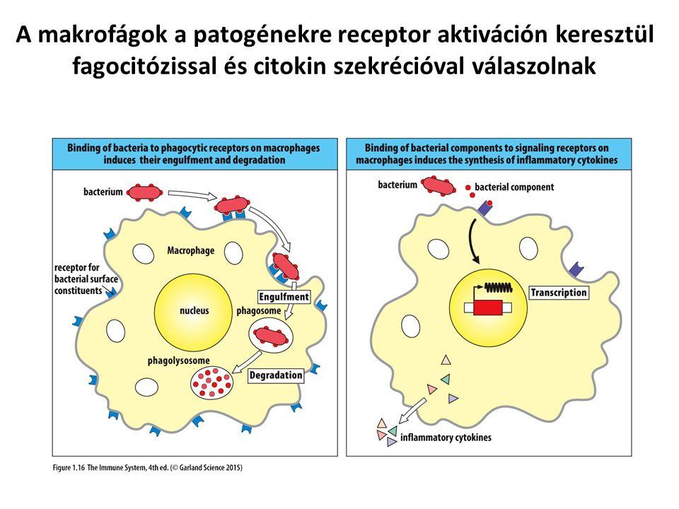 A makrofágok a patogénekre receptor aktiváción keresztül