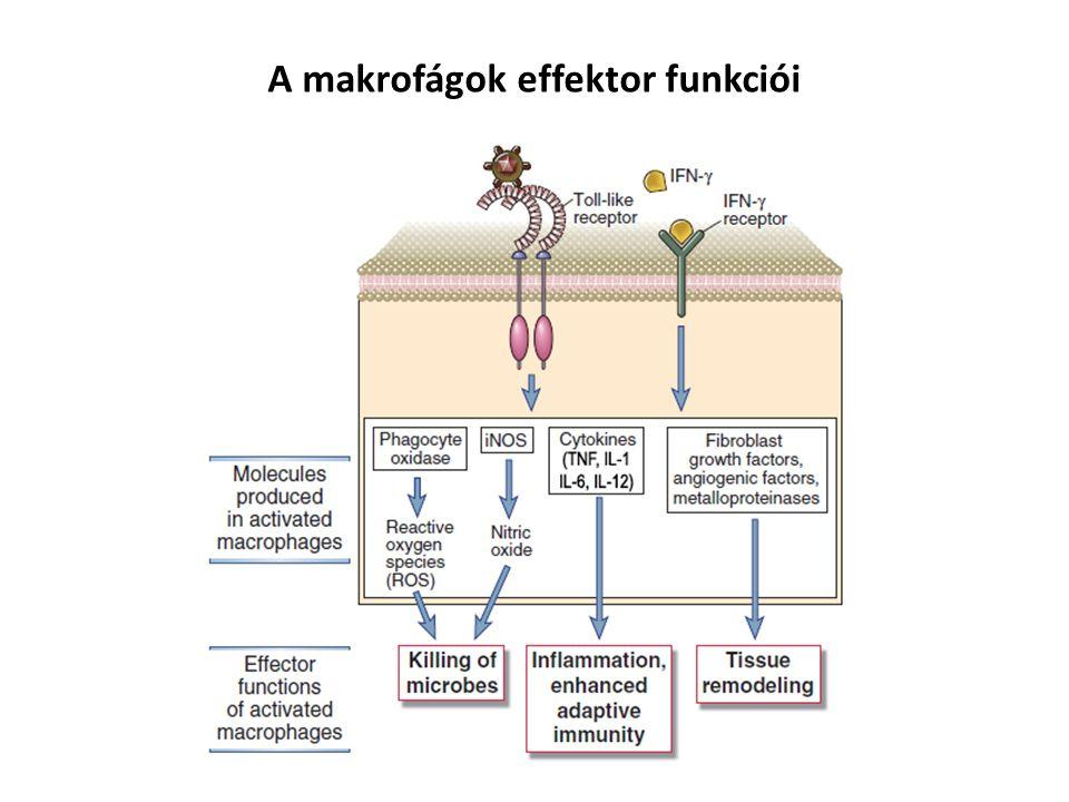 A makrofágok effektor funkciói