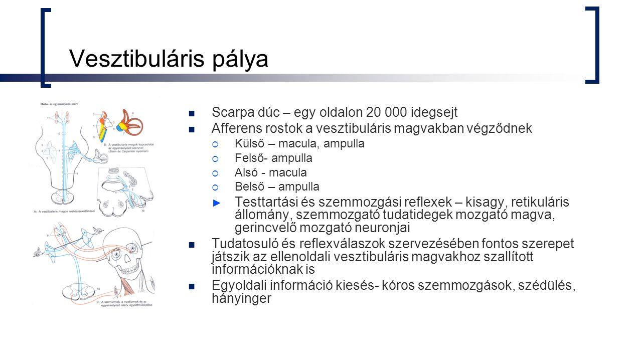 Vesztibuláris pálya Scarpa dúc – egy oldalon 20 000 idegsejt