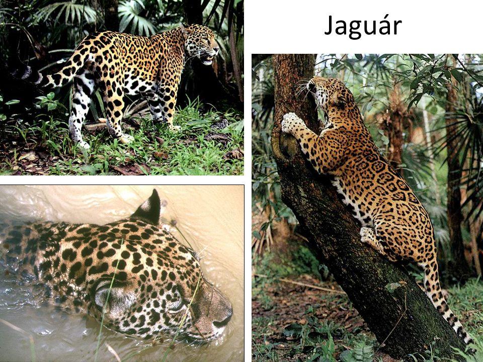 Jaguár Bal alsó kép: Dél-Amerika CD, Kossuth Kiadó
