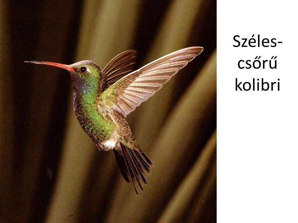 Széles- csőrű kolibri Csodálatos állatvilág – Mester Kiadó 2/262. kártya