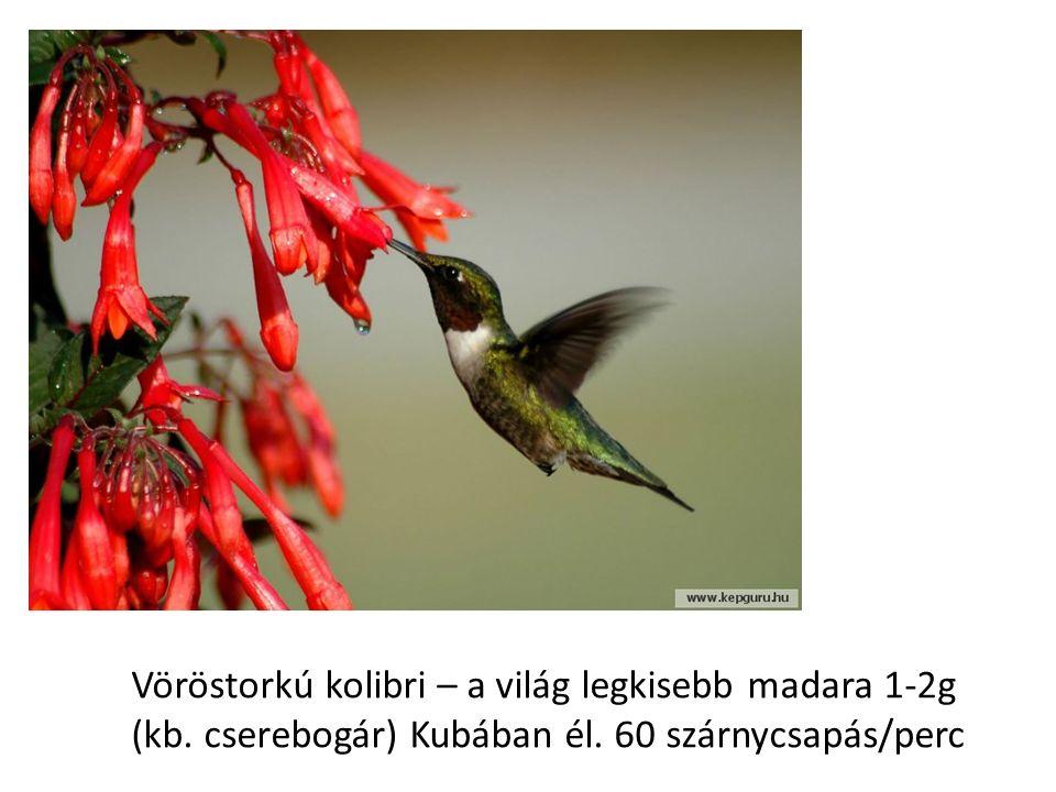 Vöröstorkú kolibri – a világ legkisebb madara 1-2g (kb