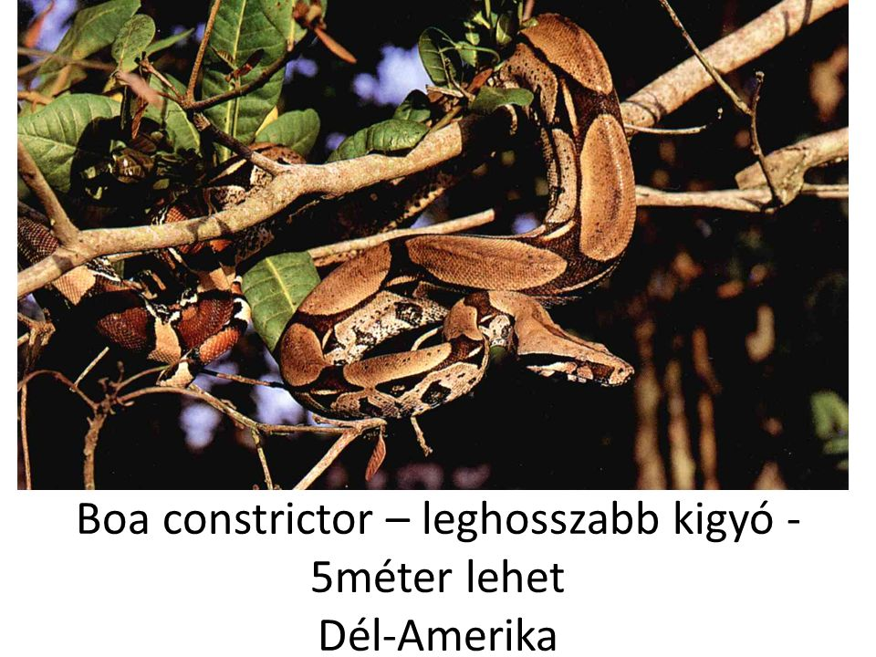 Boa constrictor – leghosszabb kigyó - 5méter lehet Dél-Amerika