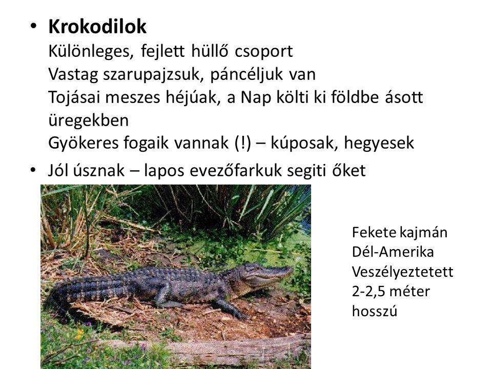 Krokodilok Különleges, fejlett hüllő csoport Vastag szarupajzsuk, páncéljuk van Tojásai meszes héjúak, a Nap költi ki földbe ásott üregekben Gyökeres fogaik vannak (!) – kúposak, hegyesek