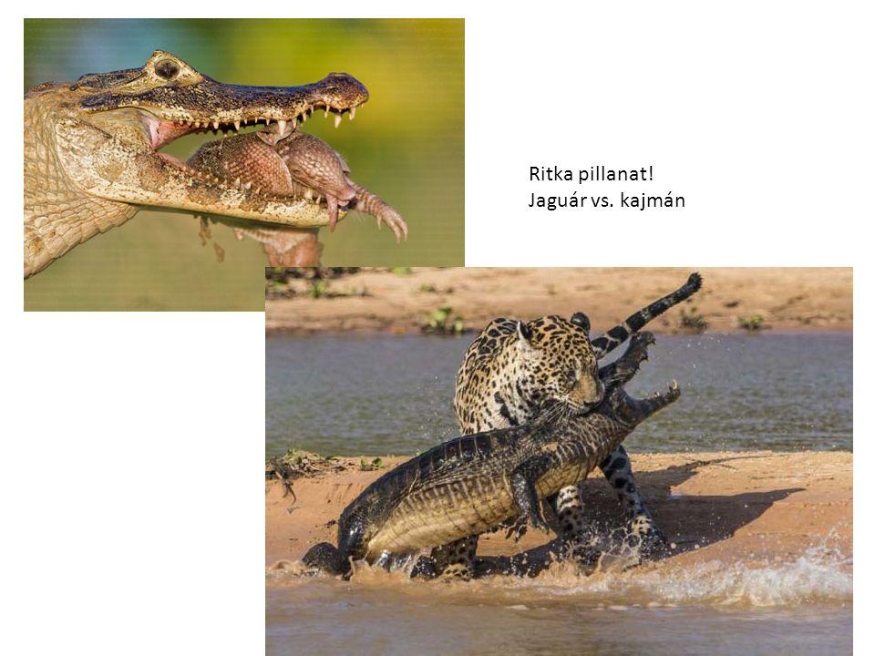 Ritka pillanat! Jaguár vs. kajmán