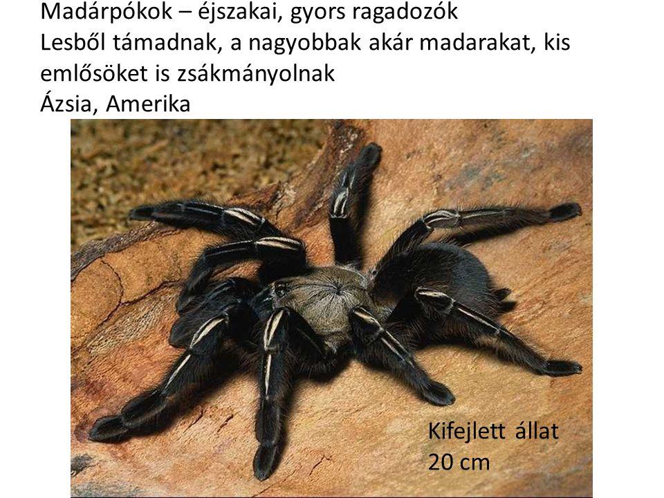 Madárpókok – éjszakai, gyors ragadozók Lesből támadnak, a nagyobbak akár madarakat, kis emlősöket is zsákmányolnak Ázsia, Amerika