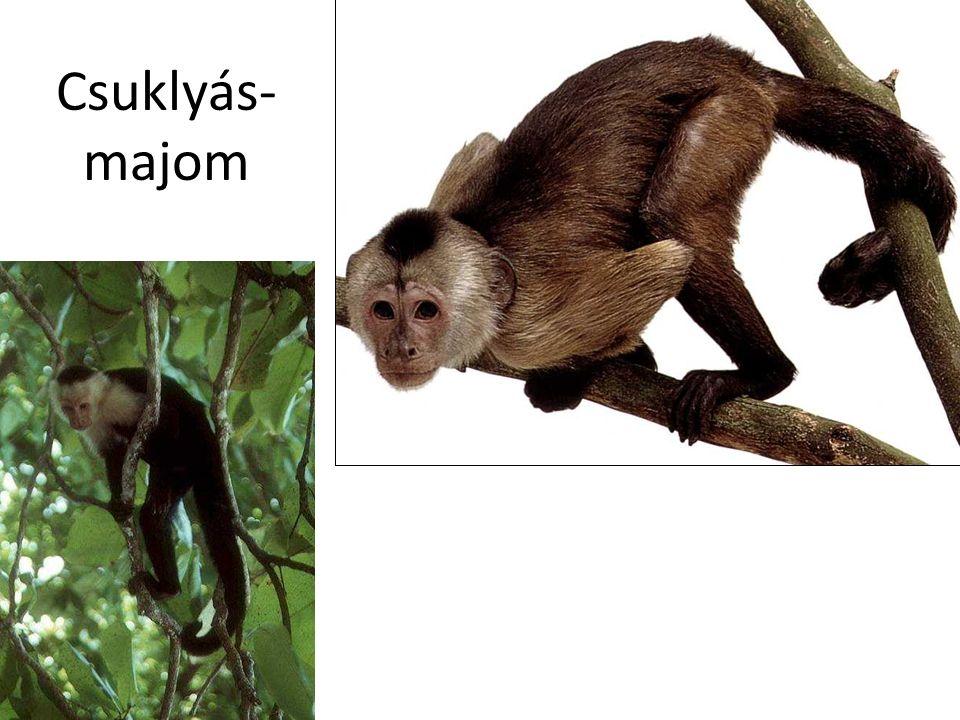 Csuklyás-majom Bal oldali kép: Dél-Amerika CD, Kossuth Kiadó