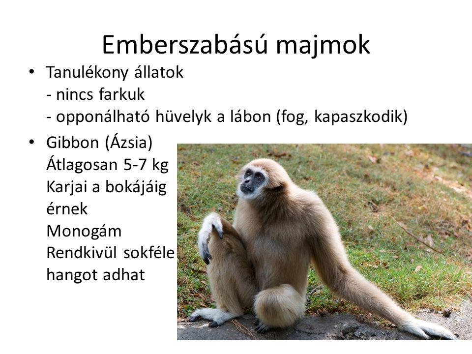 Emberszabású majmok Tanulékony állatok - nincs farkuk - opponálható hüvelyk a lábon (fog, kapaszkodik)