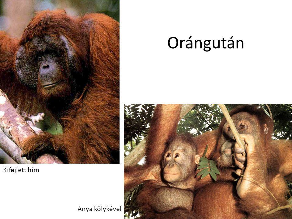 Orángután Kifejlett hím Anya kölykével