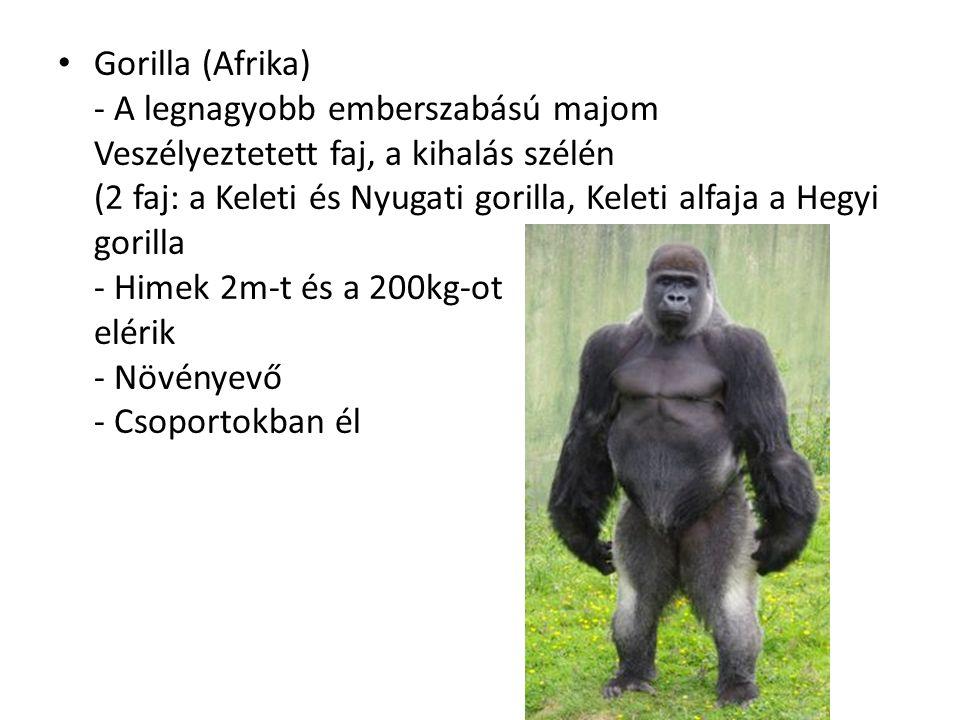 Gorilla (Afrika) - A legnagyobb emberszabású majom Veszélyeztetett faj, a kihalás szélén (2 faj: a Keleti és Nyugati gorilla, Keleti alfaja a Hegyi gorilla - Himek 2m-t és a 200kg-ot elérik - Növényevő - Csoportokban él