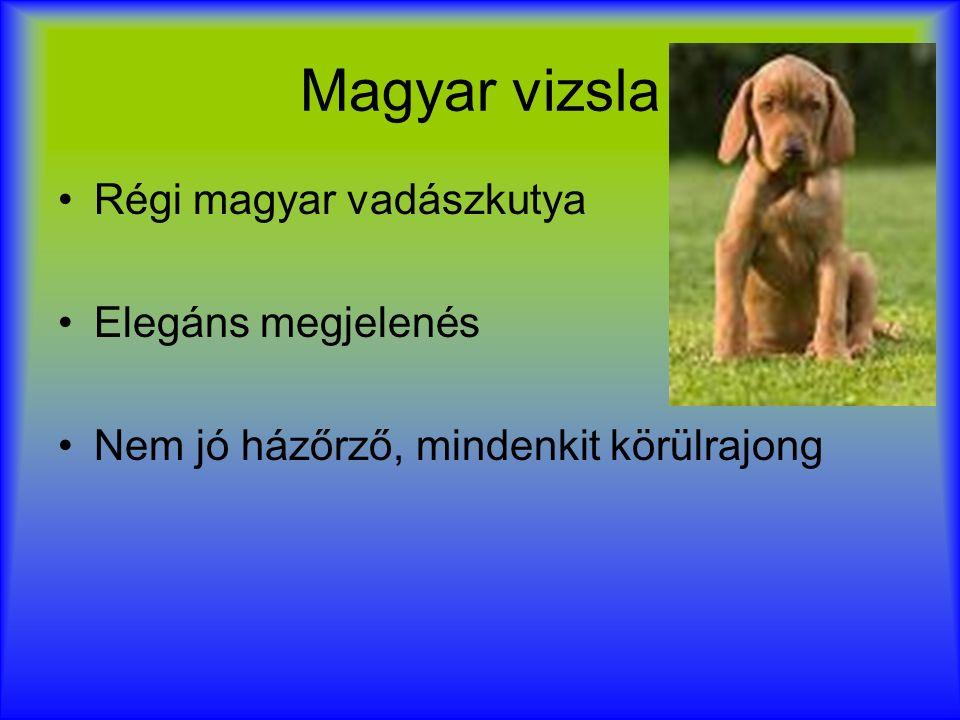 Magyar vizsla Régi magyar vadászkutya Elegáns megjelenés