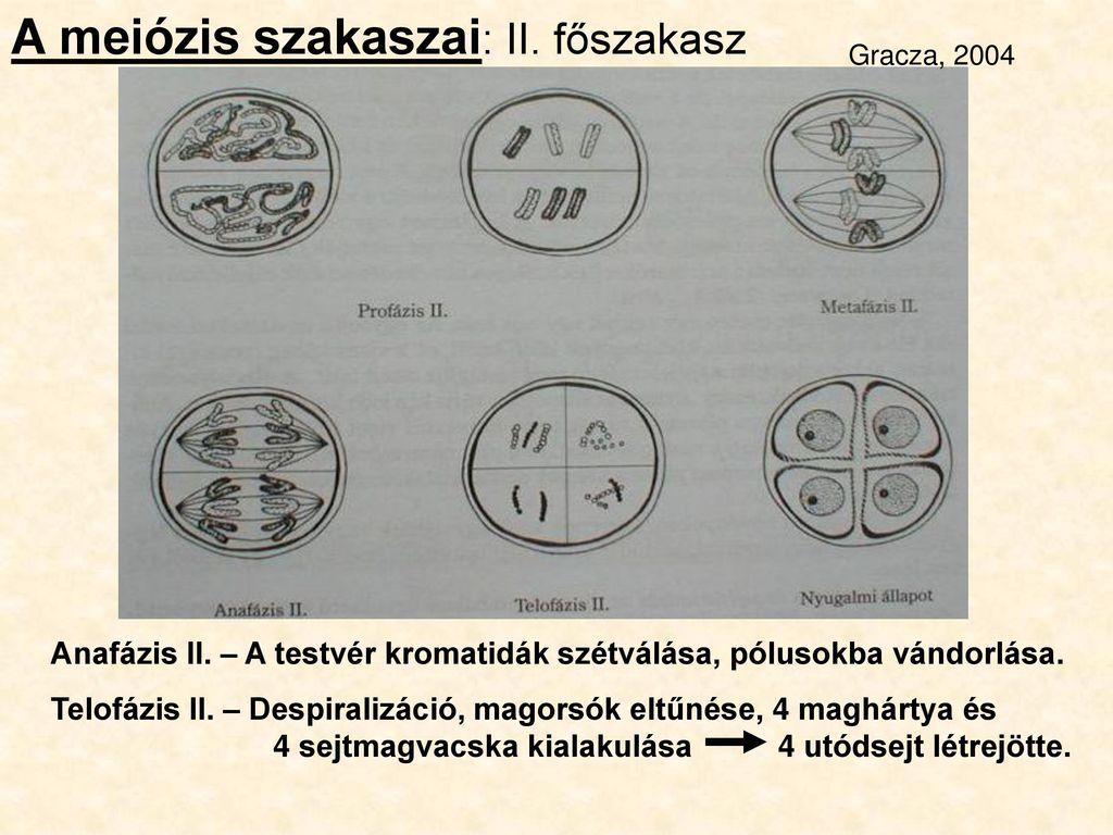 széles szalagos meiózis)