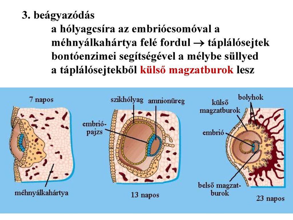 embrionális erekció