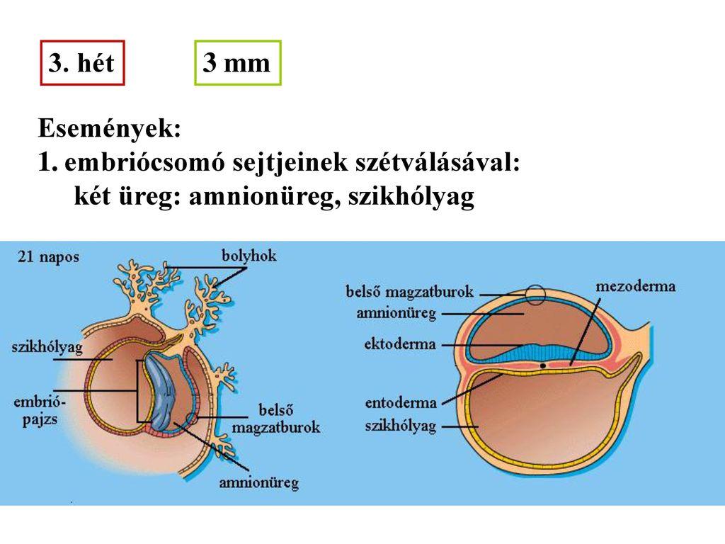 embrionális erekció)