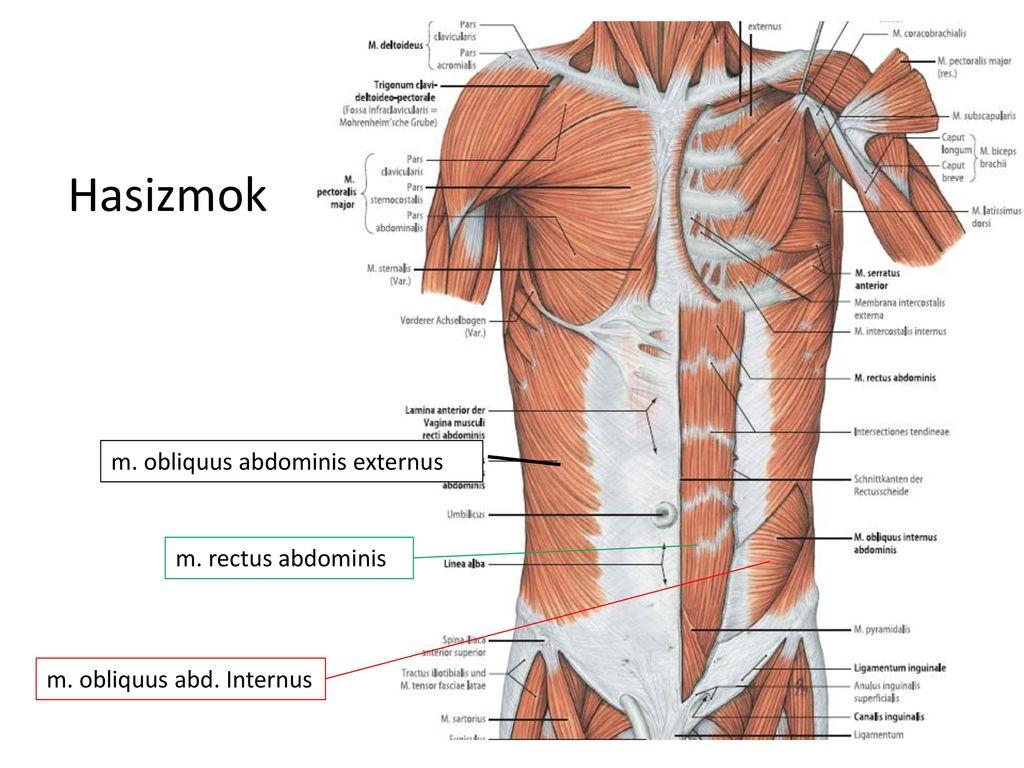Fein M. Obliquus Externus Abdominis Fotos - Anatomie Ideen - finotti ...