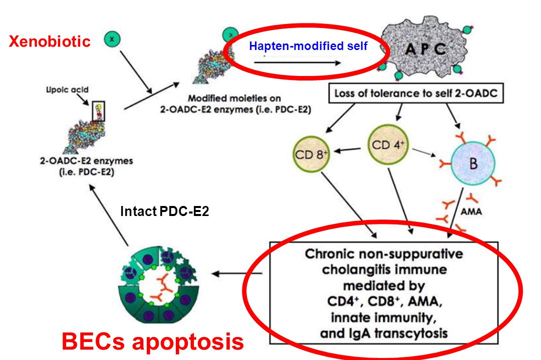 Xenobiotic Hapten-modified self Intact PDC-E2 BECs apoptosis