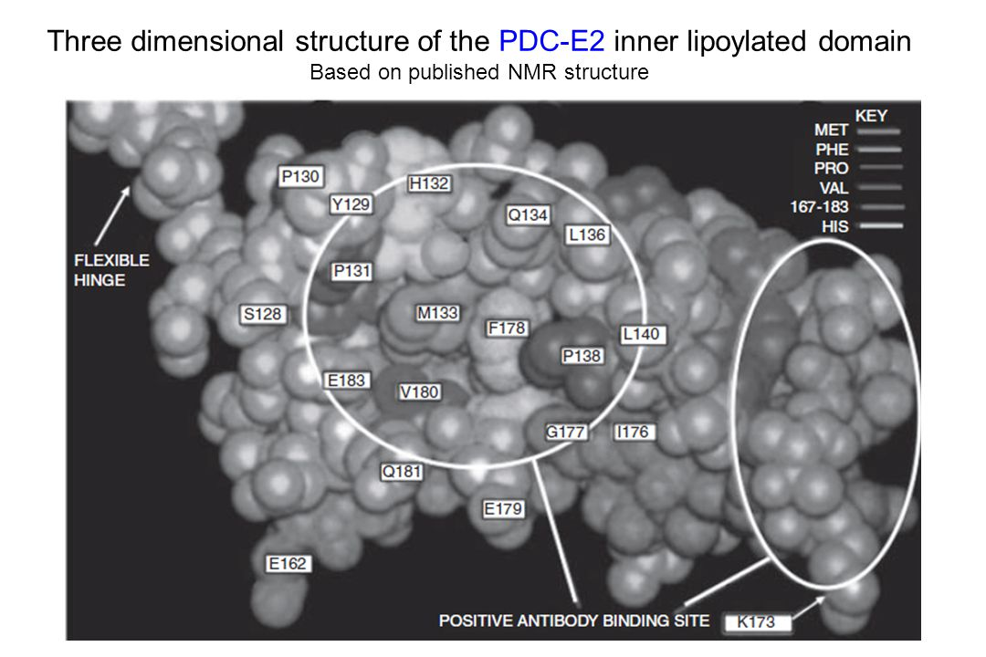 Three dimensional structure of the PDC-E2 inner lipoylated domain