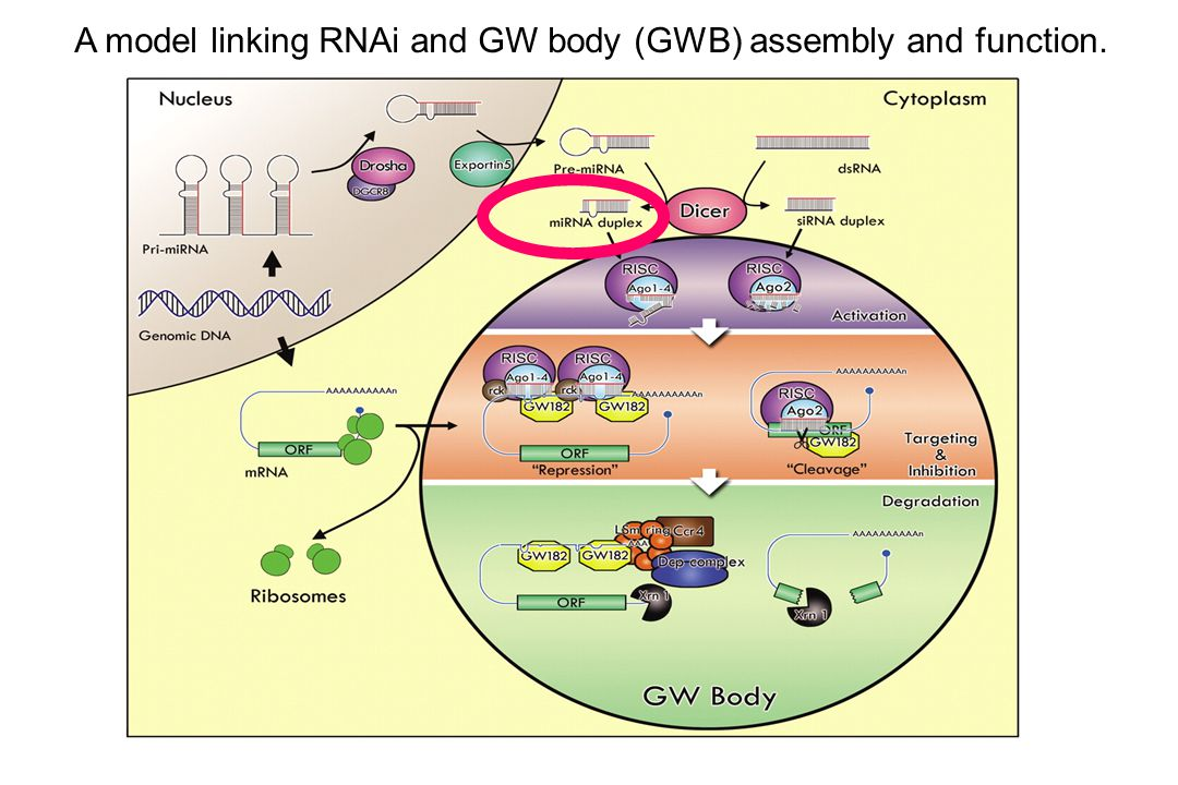 A model linking RNAi and GW body (GWB) assembly and function.