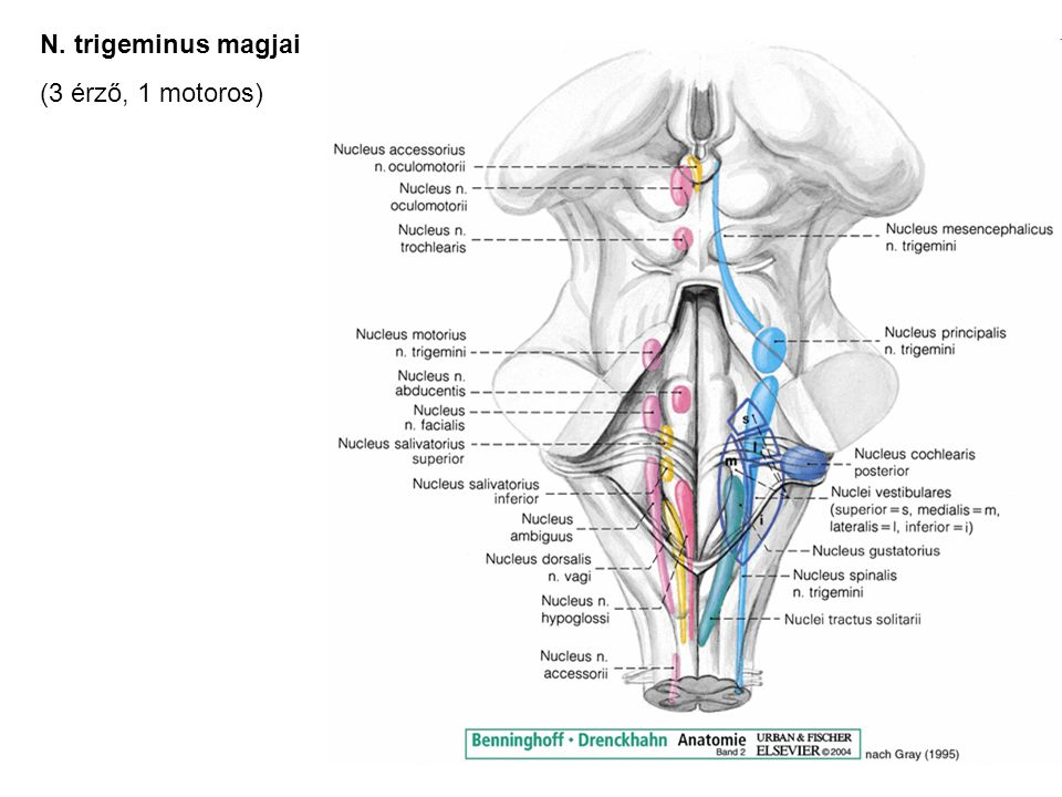 Großzügig N. Auriculotemporalis Anatomie Ideen - Anatomie Ideen ...