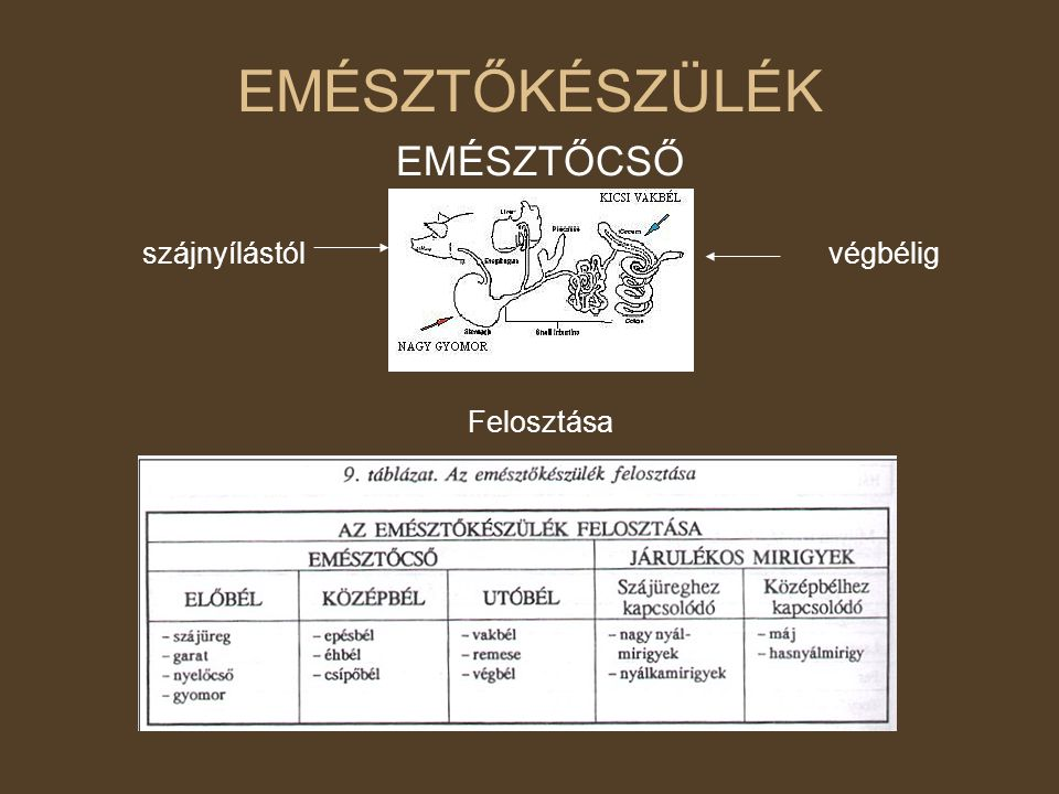 Emlős emésztőrendszer: strukturális jellemzők