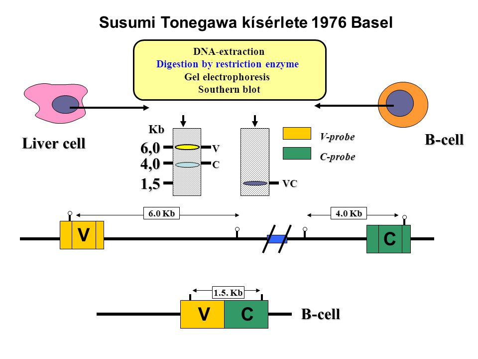 Susumi Tonegawa kísérlete 1976 Basel Digestion by restriction enzyme