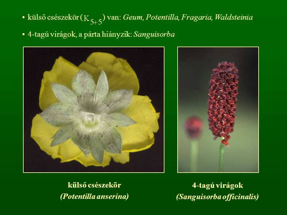 (Potentilla anserina) (Sanguisorba officinalis)