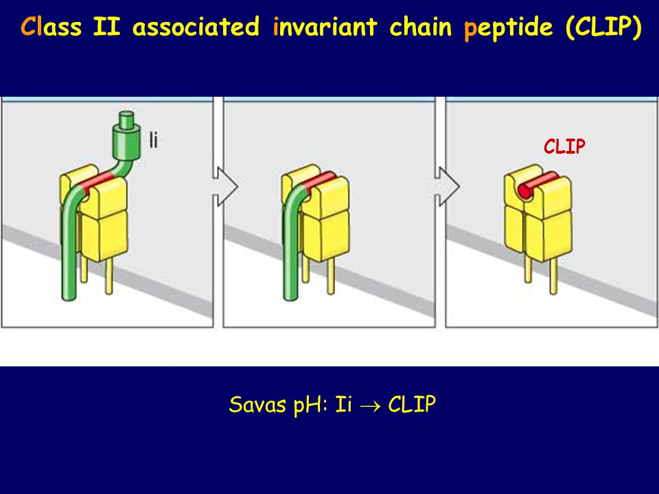 Class II associated invariant chain peptide (CLIP)