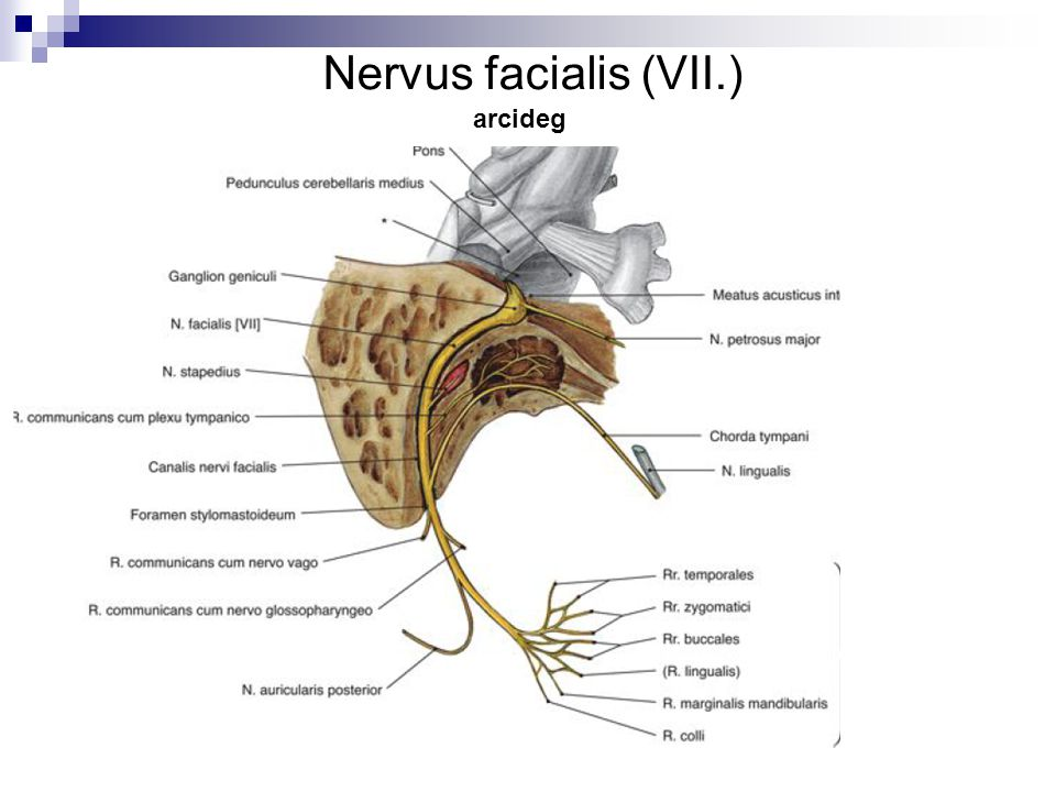Nervus facialis (VII.) arcideg
