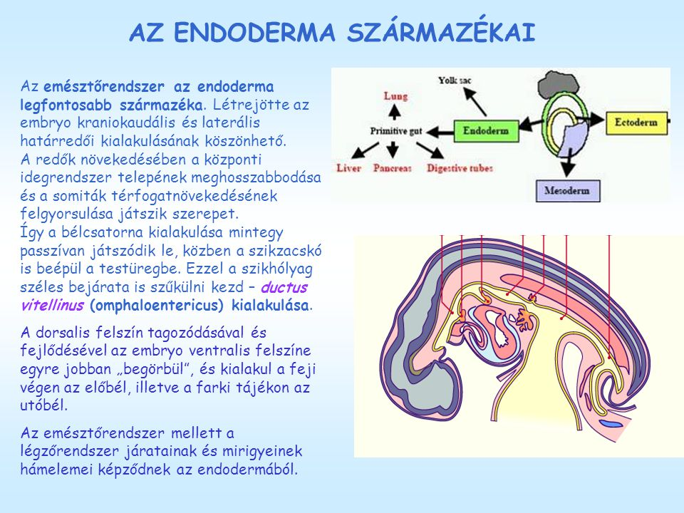 Endoderma