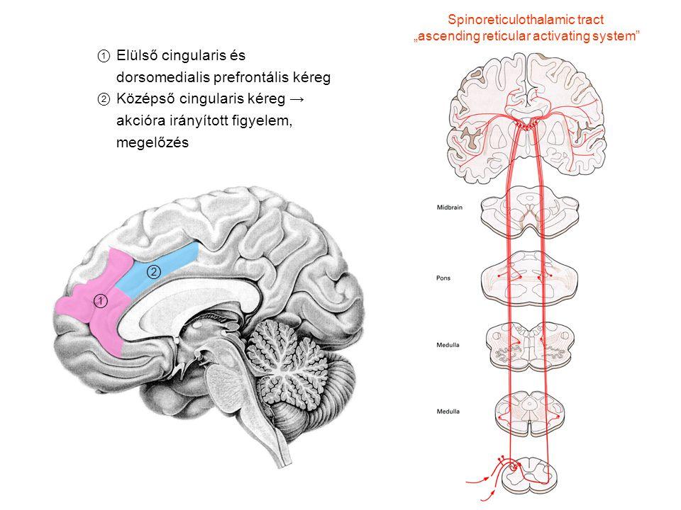 Funkcionális neuroanatómia - ppt letölteni