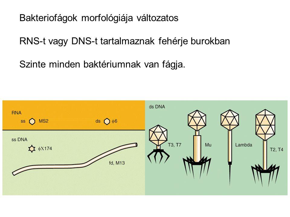 miből áll a bakteriofor)
