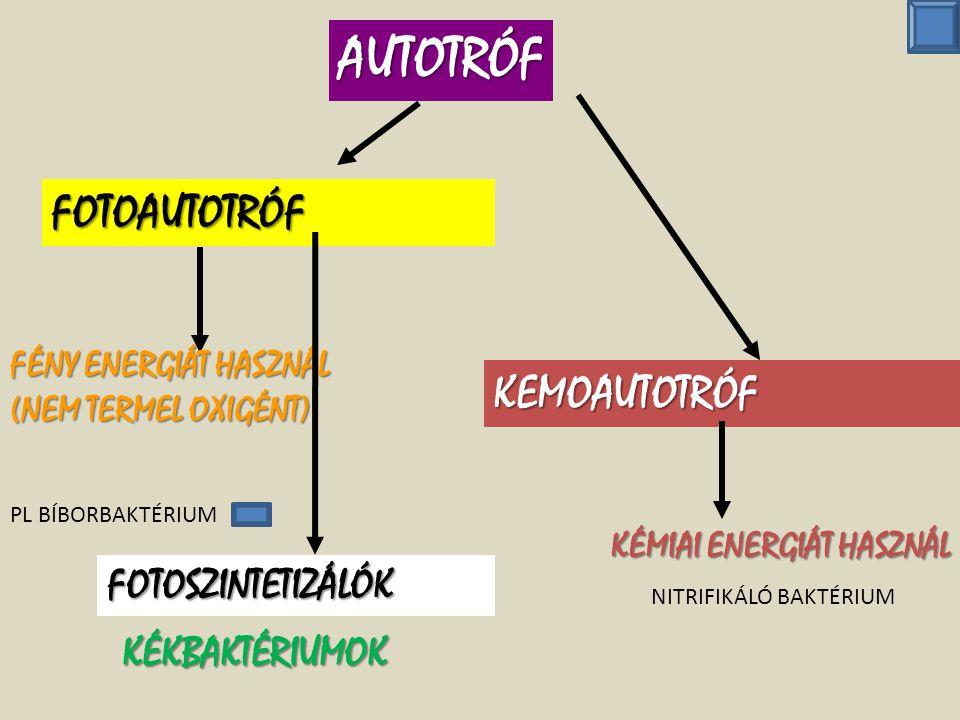 autotróf baktériumok)