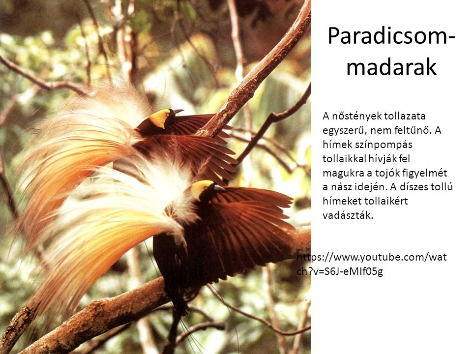 A paradicsomi madarak bekapaszkodnak