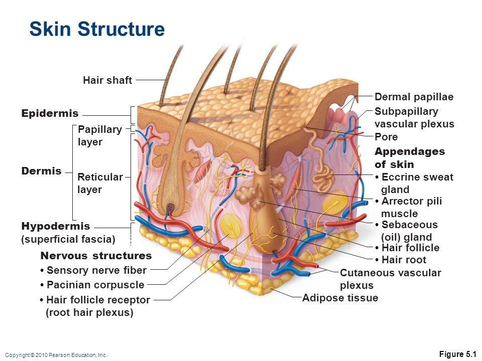 Chapter 5 The Integumentary System Shilla Chakrabarty, Ph.D. - ppt ...